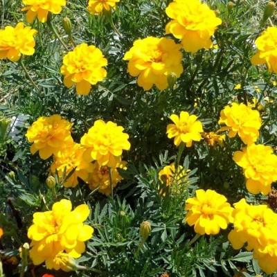 Biocarve Tagetes Nana Petula Yellow Seed