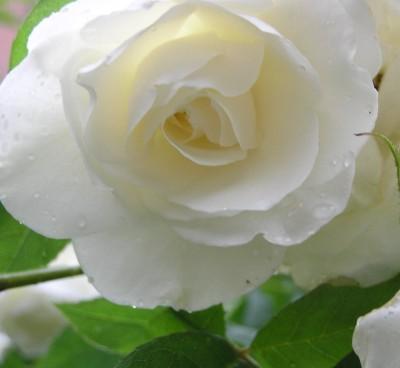 Futaba White Rose Seed