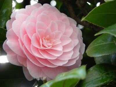Futaba Camellia flowers Seed