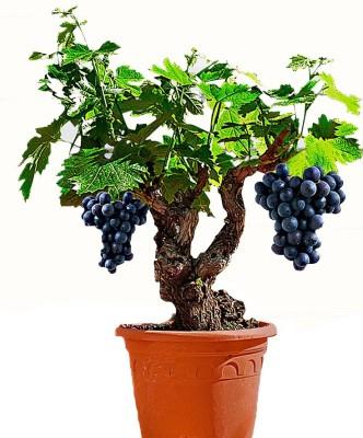 Futaba 331 grapevine Seed