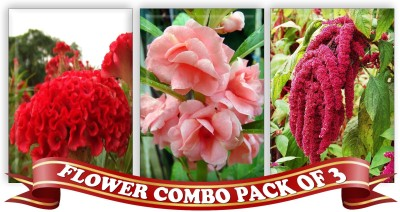 Real Seed Flower Combo Pack - Cockscomb, Tom Thumb Balsam Rose, Amranthus F1 Hybrid Seed