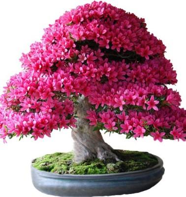 Futaba Japanese Sakura Bonsai Plant Seed