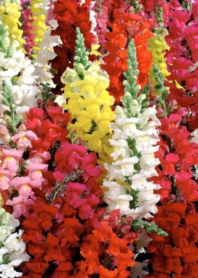 Real Seed Antirrhinum Double Mixed Hybrid Imported Seed