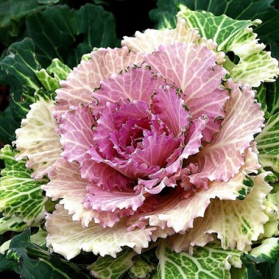 Omaxe Ornamental Kale Imported, 50seeds*3pkts Seed