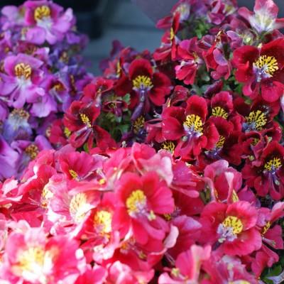 Saaheli Flower Schizanthus Angel Wings Seed