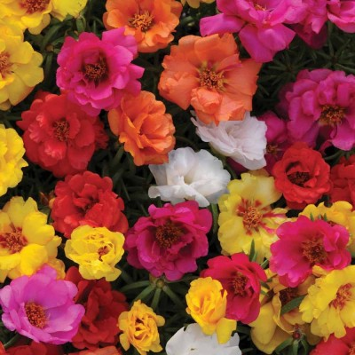 Farm Seeds Portulaca Rainbow Mixed Seed