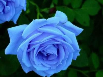 Saaheli Rose Blue Seed