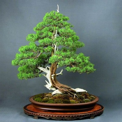 Rainbow Spring Seeds Juniper Bonsai Seed