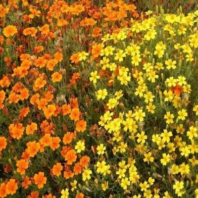 Futaba French Marigold Flower Seed