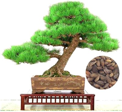 Rainbow Spring Seeds Bonsai Pinus Thunbergii Tree Seed