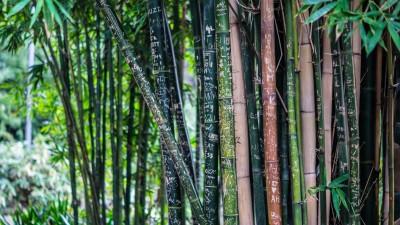Seedlings India Katanga bamboo Hybrid Seed