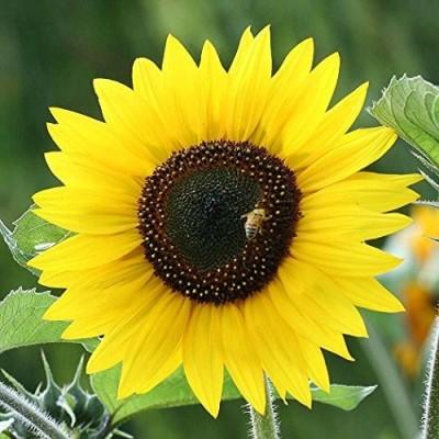 Futaba Bonsai Sunflower Seed