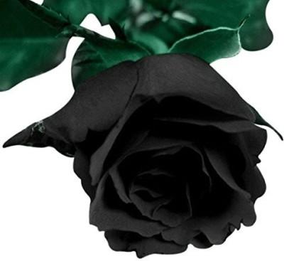 Futaba Blood Black Rose Flower Seed