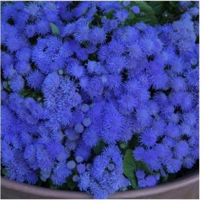Saaheli Ageratum Ball Blue Seed