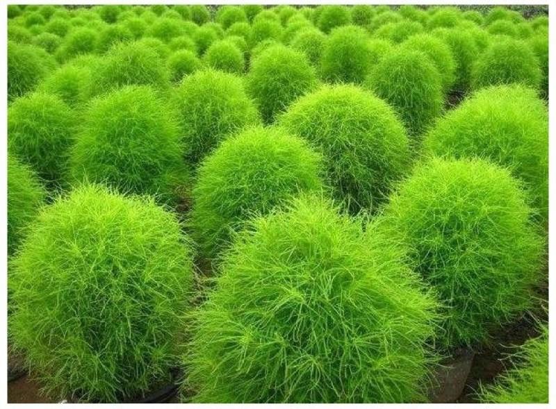 Agricart AGRI39 Seed(50 per packet)