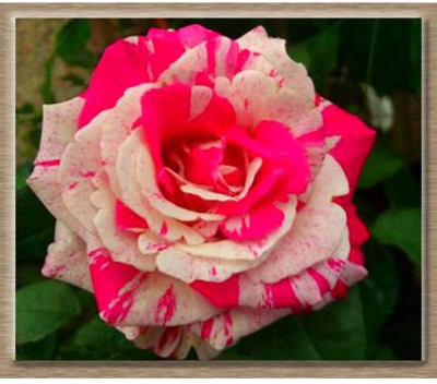 Rainbow Spring Seeds White Pink Rose Flower Seed