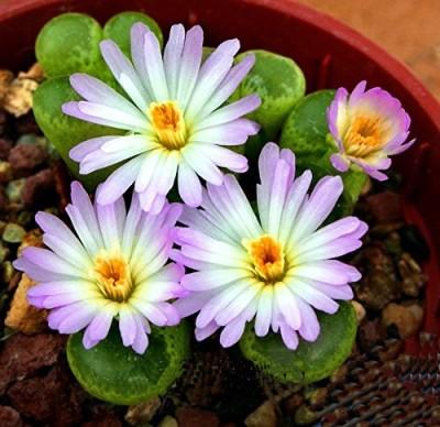 Futaba Celestial Cactus anti-radiation bonsai Seed