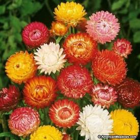 Bio Kisan Helichrysum Mixed Flower Seed(20 per packet)