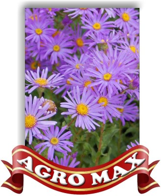 AGRO MAX ASTER DOUBLE MIXED Seed