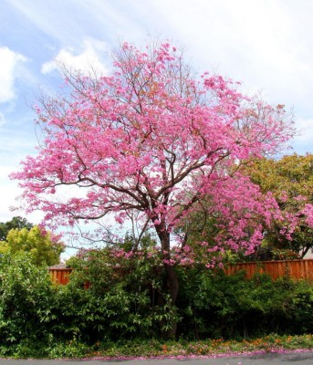 Saaheli Pink Trumpet Tree Seeds Seed(5 per packet)