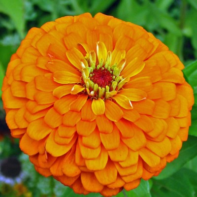 Farm Seeds Zinnia Dahlia Flowered Mixed Seed