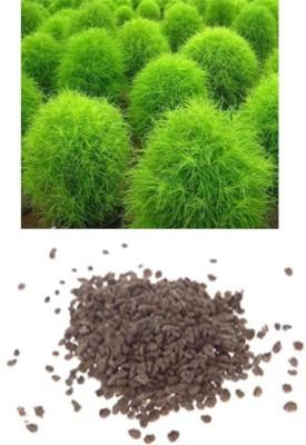 Alkarty Kochia Seed