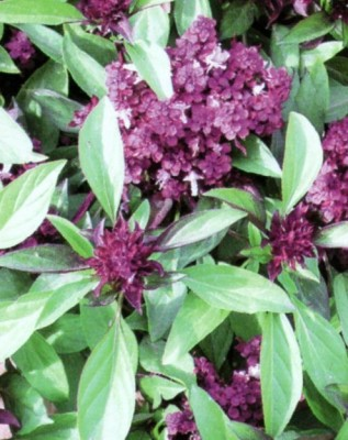 Raunak Seeds Basil Sweet Sceneted, 100 Seeds Seed