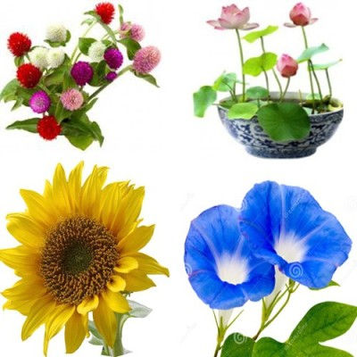 Alkarty Gomphrena,Lotus,Morning Glory,Sunflower Seed