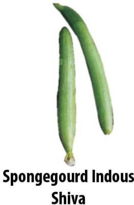 Indous Agriseeds Indo Us Shiva Sponge Gourd 500 Seeds Per Acket Seed