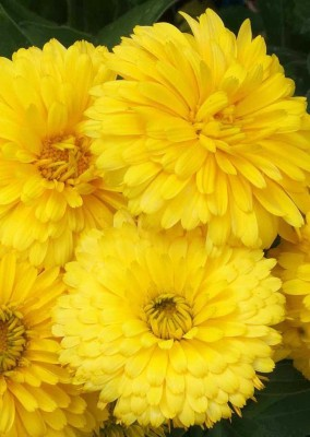 Real Seed Calendula Yellow Hybrid Imported Seed