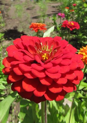 Real Seed Zinnia Red Hybrid Flower Seed
