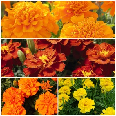 Biocarve French Marigold Flower kit Seed