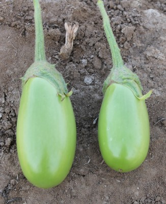 Indous Agriseeds Indo Us Surati F1 Hy.eggplants 2400 SEEDS PER PACKET Seed