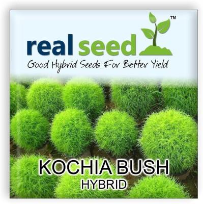 Real Seed Kochia Bush Hybrid Seed(50 per packet)
