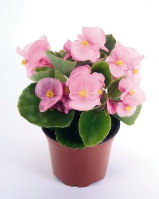 Saaheli Flower Begonia Semperflorens Pink Seed