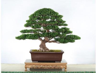 Futaba Juniper Bonsai Seed