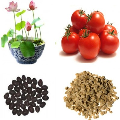 Alkarty lotus seed and tomato seed Seed