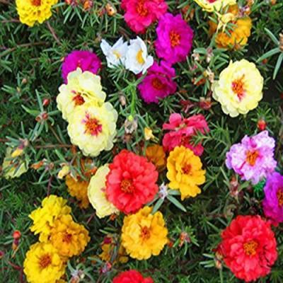 Futaba courtyard essential colorful flower Seed