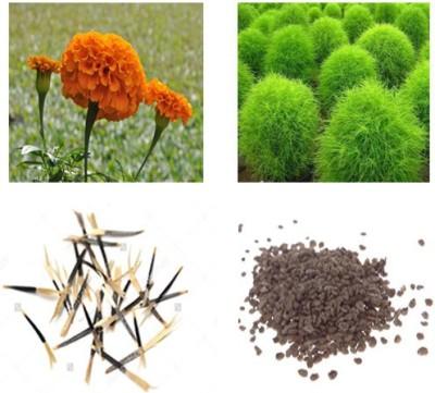 Alkarty marigold and kochia seed Seed