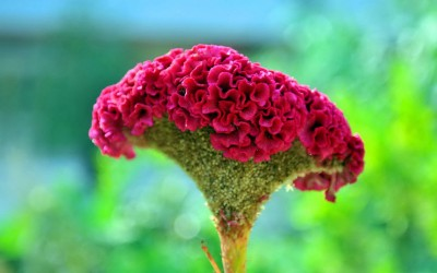 Farm Seeds Cockscomb Jewel Box Seed