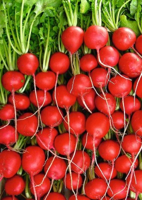 Real Seed Round Champ Red Radish F1 Hybrid Seed