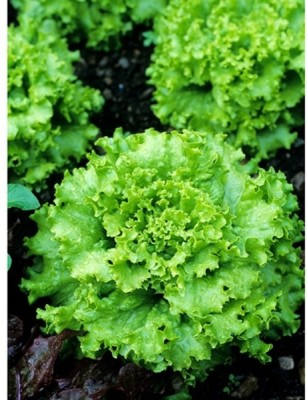 Raunak Seeds Lettuce Crisp Yellow Grand Rapids, 100 Seeds Seed
