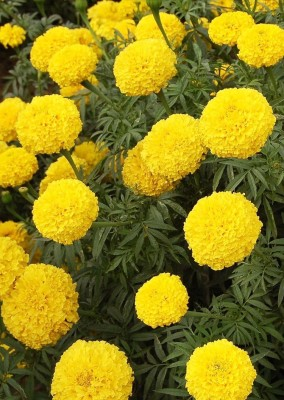 Real Seed Marigold Pusa Basanti Hybrid Premium Imported Seed(20 per packet)