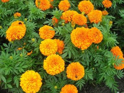Pyramid Cocopeat Organic MARIGOLD (T. Double African Mix) Seed