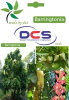 DCS Barringtonia Forest Plants (10 Seeds Per Pack) Seed(10 per packet)