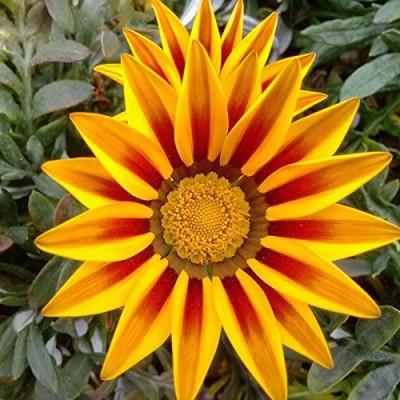Futaba Yellow Striped Daisy Medal Flower Seed