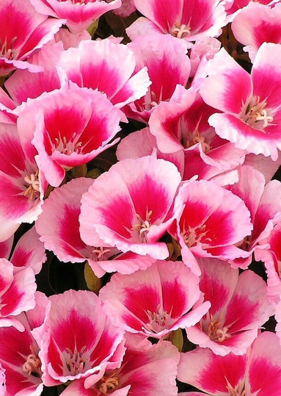 Real Seed Clarkia Mixed Hybrid Imported Seed(100 per packet)