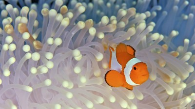 Clownfish A3 HD Poster Art PNCA25335 Photographic Paper