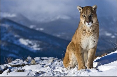 Lioness on Ice Paper Print