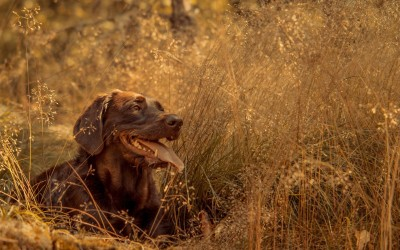 Labrador Retriever A3 HD Poster Art PNCA25106 Photographic Paper